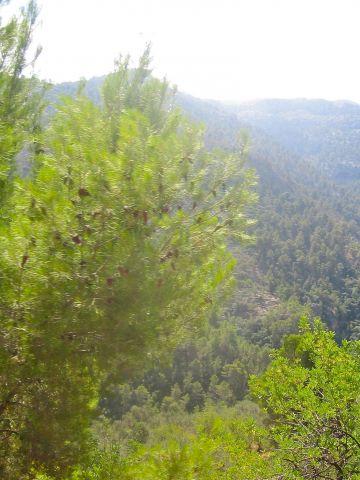 деревья на Мальорке