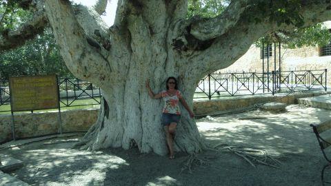 Кипрские деревья